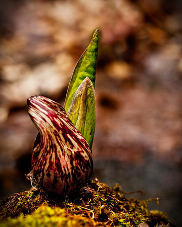 Skunk cabbage. Quarry Trail, Palmer property, Kendall Mountain Road.