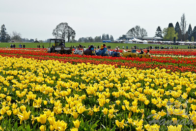 Wooden shoe train at the tulip fields taken at Wooden Shoe Tulip Farm in Woodburn, OR  © Copyright Hannah Pastrana Prieto
