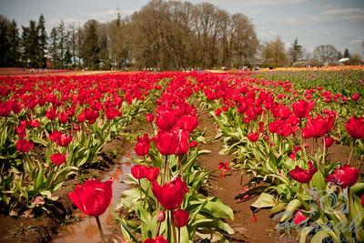 Tulip fields taken at Wooden Shoe Tulip Farm in Woodburn, OR  © Copyright Hannah Pastrana Prieto