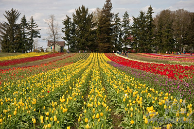 Tulip fields taken at Wooden Shoe Tulip Farm in Woodburn, OR  © Copyright Hannah Pastrana Prieto