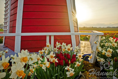 Windmill with daffodils and tulips at the foreground Shot taken at Wooden Shoe Tulip Farm in Woodburn, OR  © Copyright Hannah Pastrana Prieto