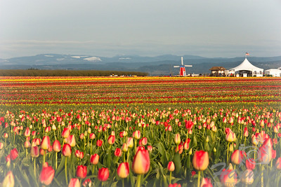 Tulip fields with a windmill and market tent at the distance. Shot taken at Wooden Shoe Tulip Farm in Woodburn, OR  © Copyright Hannah Pastrana Prieto