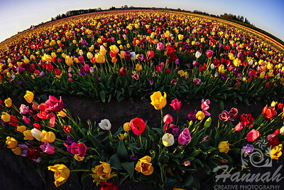 Colorful tulip fields taken at Wooden Shoe Tulip Farm in Woodburn, OR  © Copyright Hannah Pastrana Prieto