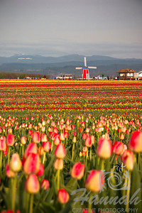 Tulip fields with a windmill at the distance. Shot taken at Wooden Shoe Tulip Farm in Woodburn, OR  © Copyright Hannah Pastrana Prieto