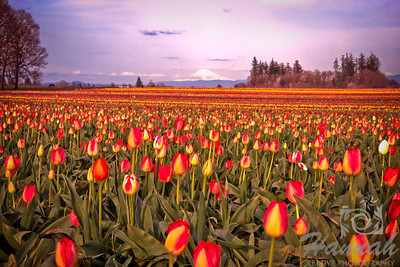 View of Mt.Hood at the distance Shot taken at the Wooden Shoe Tulip Farm in Woodburn, OR  © Copyright Hannah Pastrana Prieto