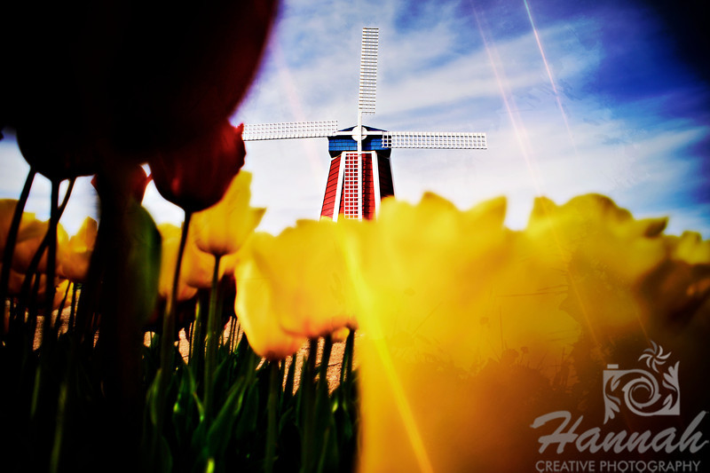Textured image of a windmill behind the tall tulips taken at Wooden Shoe Tulip Farm in Woodburn, OR  © Copyright Hannah Pastrana Prieto