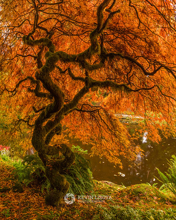 Japanese maple at Bloedel Reserve