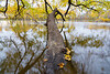 A maple tree trunk bends into the Minnesota river while leaves fall from overhanging branches.<br /> <br /> Minnesota River Valley National Wildlife Refuge, Minnesota
