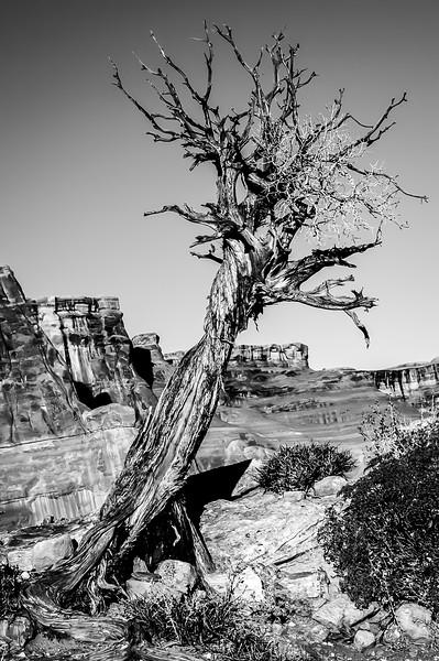 Canyon Tree Portrait BnW