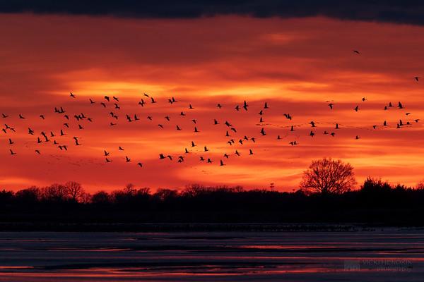 Stunning colors at dusk as Sandhill cranes fly in to roost - Platte River, Nebraska