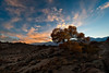A solitary Cottonwood Tree during sunset in the Alabama Hills of the Eastern Sierra Mountains<br /> California.<br /> <br /> Photo by Ron Bernstein 11/24/11 at 4:32:03 PM with a NIKON D3 set to ISO of 200, shutter speed of 1/40 at f/18.