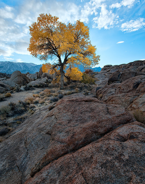Cottonwood Tree during sunset in the Alabama Hills of the Eastern Sierra Mountains<br /> California.<br /> <br /> Photo by Ron Bernstein 11/24/11 at 4:25:33 PM with a NIKON D3 set to ISO of 200, shutter speed of 1/25 at f/18.