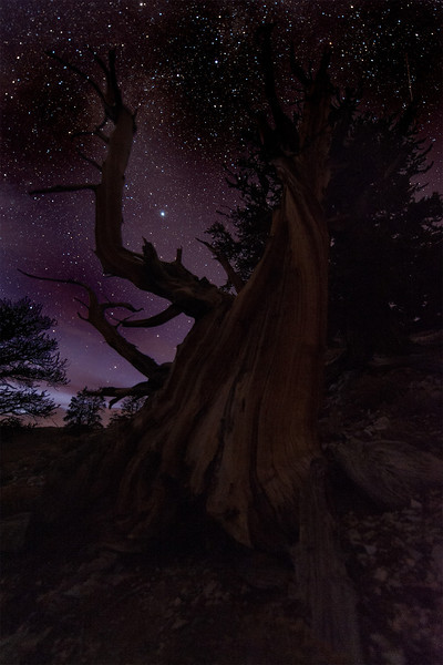 Bristlecone Pine, Schulman Grove, White Mountains