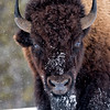 Bison in a snowstorm