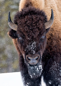 Bison in a snowstorm