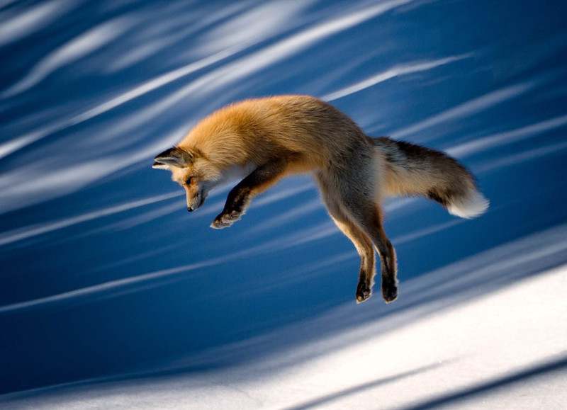 Red Fox in mid pounce
