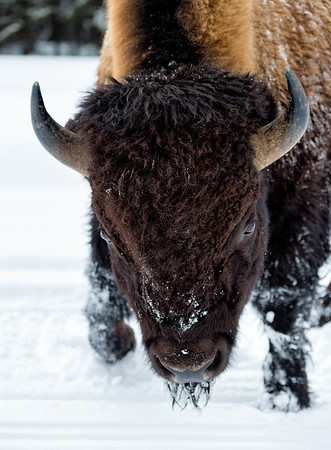 Bison in charge