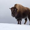 Bison on a hilltop