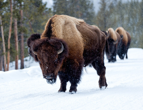Yellowstone Traffic Stand-off