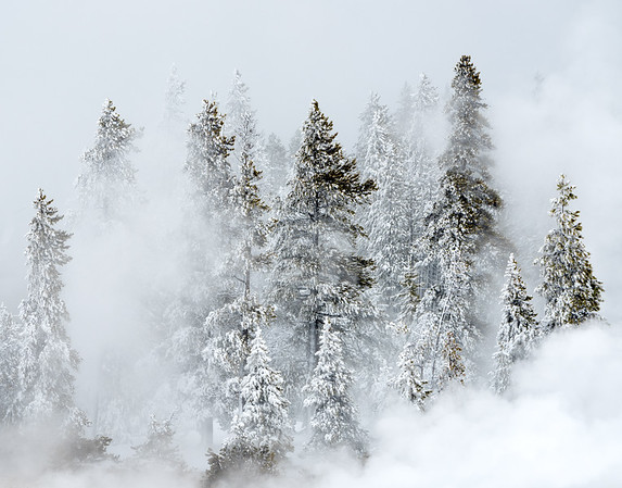 Geyser steam and snow-covered pine trees