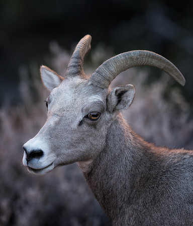 Bighorn Sheep, Zion National Park