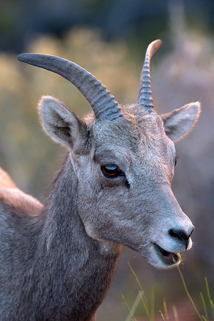 Female Bighorn Sheep, Zion National Park