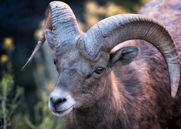 Male Bighorn Sheep, Zion National Park