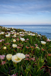 Wildflowers by the coast, Santa Cruz, CA  On the way to Natural Bridges State Beach, we stopped by to shoot these wild flowers growing in abandon along the coast line. I used a wide angle lens to highlight the large flower in the foreground.
