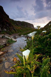 Calla Lilies, Pacific Coast, CA  As we were driving along highway 1, we spotted these lilies growing in a little valley. I used a wide angle lens to highlight the flower in the foreground, and the stream by the side leads the viewer to valley and the ocean beyond.   The soft transition of the GND filter is visible on the distant hill, but it is hard to avoid this without doing an HDR.