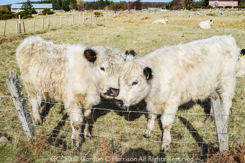 Photo 3231: Calf love in Scoraig