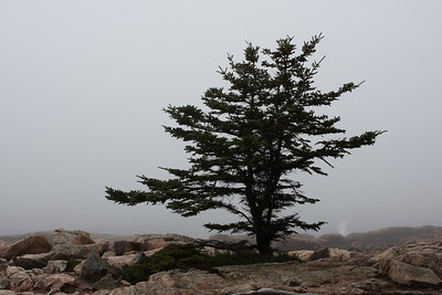 The Tree - Ship Harbor, Acadia National Park, Mount Desert Isle, Maine, October 2007; Canon 40D