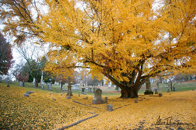 Yellow Ginkgo Tree