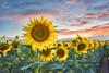 Sunflowers at Sunset