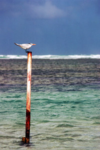 Bird on a Post, January 1985, Luquillo, Puerto Rico. Kodachrome shot with Canon A-1, 70-210mm f4.