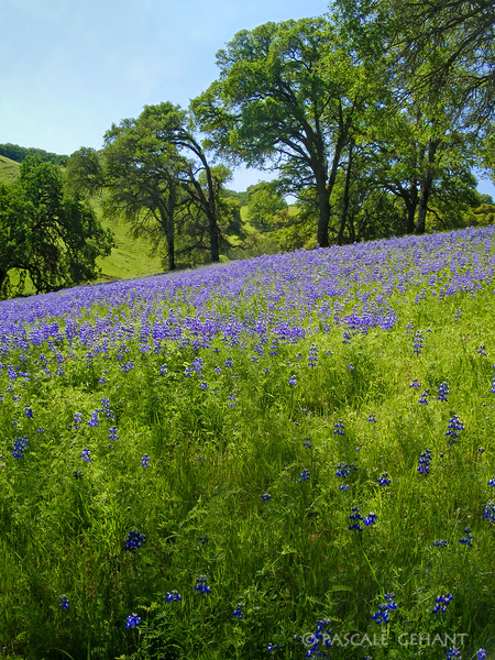 Oaks and lupins 4