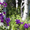 Wild Geraniums & Aspen