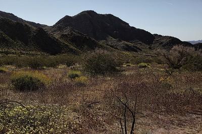 Desert Wild Flowers
