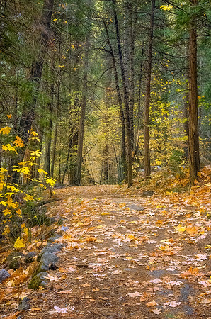 Trail of Big Leaf Maple