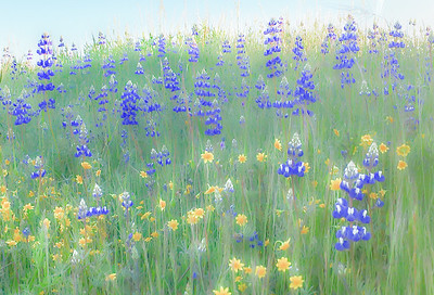 Lupines & Daisies