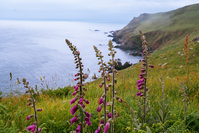 Foxgloves, South Devon