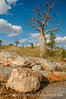 Bottle tree, Bell Gorge National Park