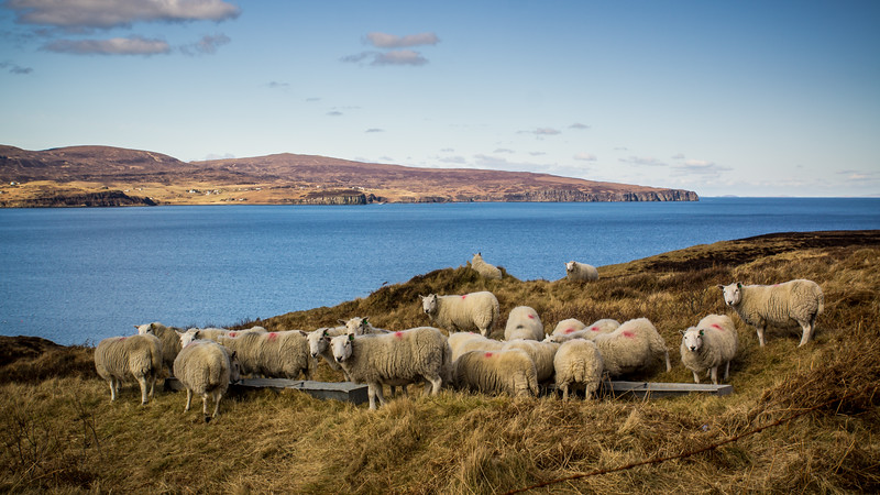 A Herd of Sheep on the Road to the Coral Beach, Dunvegan, Isle of Skye