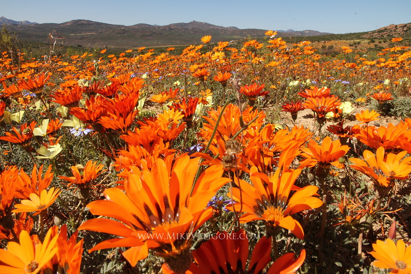 Namaqua Orange