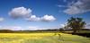 Oil-seed Rape field, Sibbertoft, Northamptonshire, England, UK