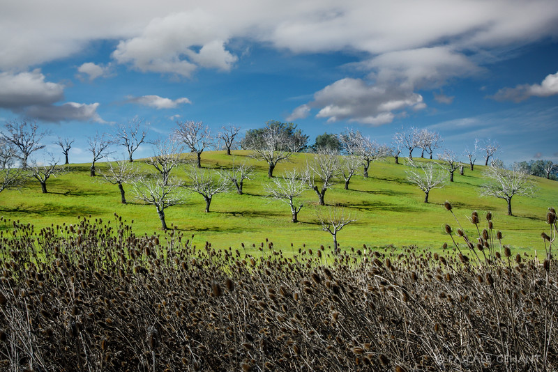 Leafless orchard on the hill 2