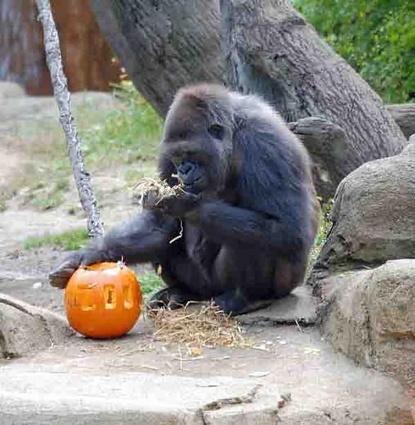 This gorilla got a nice treat near Halloween.