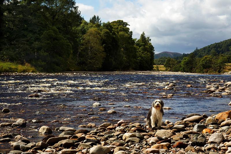 Buddy beside the River Dee Aberdeenshire. John Chapman.