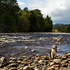 Buddy beside the River Dee Aberdeenshire. John Chapman.
