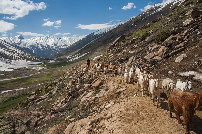 A Bakarwal shepherd traveling with his flock near Noori Top, Kaghan
