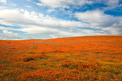 California Poppy Superbloom